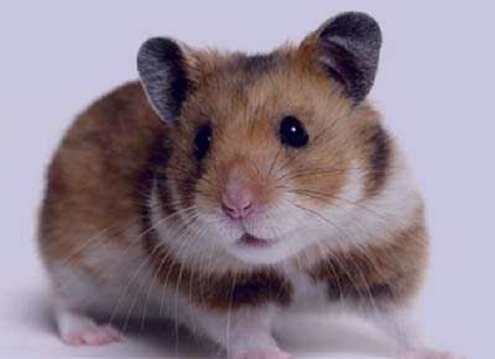 فضله موش
