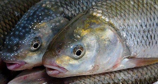 قزل آلا، ماهی قباد، ماهی های روغنی