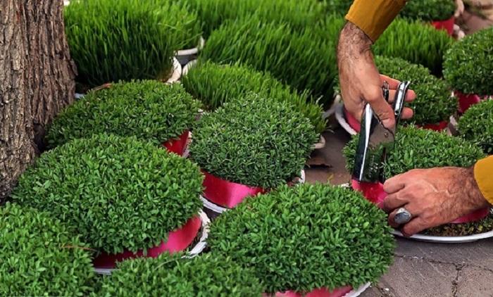 بهترین زمان برای کاشت سبزه عید