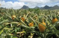 نحوه ی کاشت آناناس در منزل